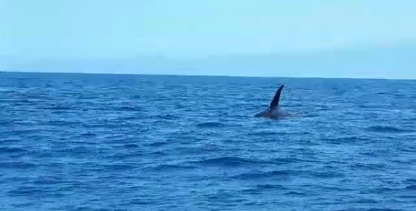 Orca Sighting La Gomera